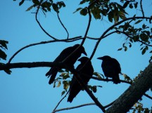 The Language of Crows
