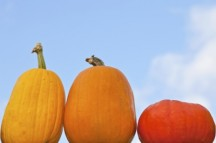 "<strong>Where in the world do pumpkins originate (meaning where did they first start growing)? <p></p> Central America</strong><p></p>Source: University of Illinois Extension <a href=""http://urbanext.illinois.edu/pumpkins/facts.cfm"" target=""_blank"">Pumpkins and More</a><p></p>Image by Marcus from FreeDigitalImages.net"