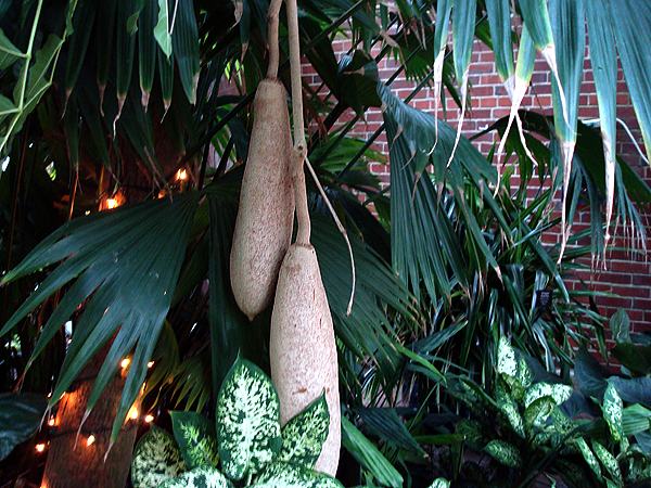 African Sausage Tree Lincoln Park Conservatory Chicago.png