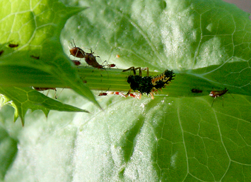 Aphids with Ladybug larva.png