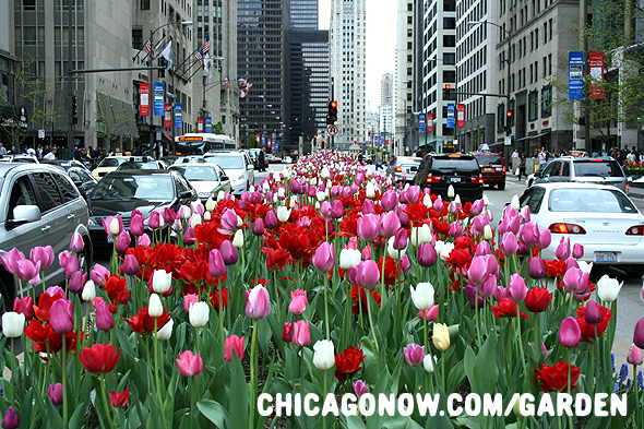 Chicago-Tulip-Bulbs-on-Michigan-Ave.png