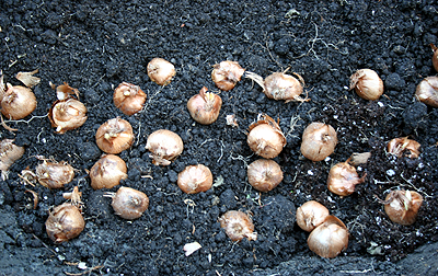 Crocus bulb_corms being planted.png