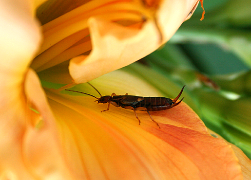 Earwig on flower at Chicago garden.png