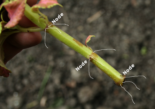 How to take plant cuttings, where to cut leaf nodes.png