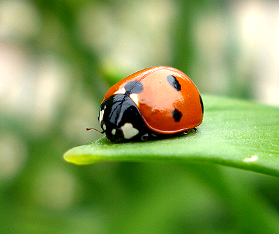 Ladybug in my chicago garden.png