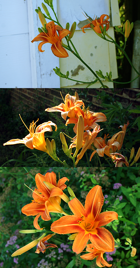 Orange Daylilies in Chicago.png