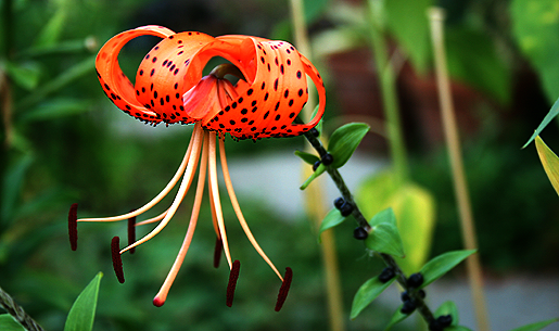 Orange Tiger Lily growing in Chicago garden.png