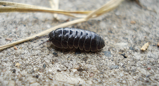 Pill bug at Chicago garden.png