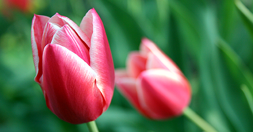 Pink and white tulips in Chicago garden.png
