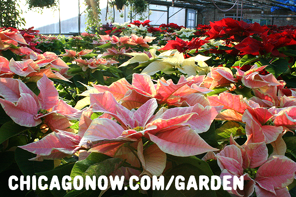Poinsettias-Grown-In-Chicago.png