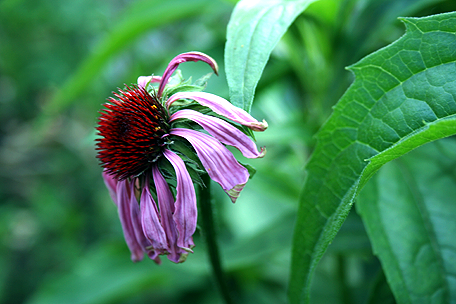 Wilted Purple Coneflower .png