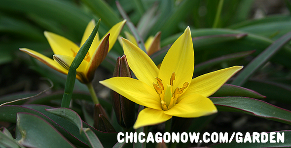Yellow-Species-Tulip-Bulb-Planted-in-Chicago.png