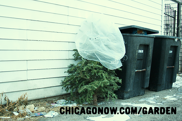 How to Recycle a Live Christmas Tree in Chicago