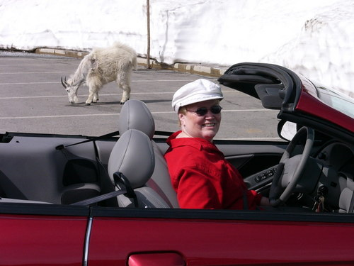 My mom in her red Mustang convertible with a mountain goat and a wall of snow.