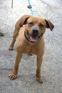 North Chicago Animals Needing Rescue - Jack is a great boy who loves everyone and has been good with dogs at the shelter. He even seems to be happy in the kennel, but would rather be out with people.