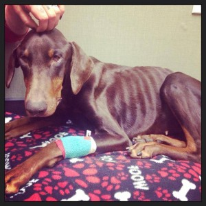 This emaciated dog Ruth is from Chicago Animal Care and Control. Alive Rescue saved her, but she died a few days later. Help came too late.