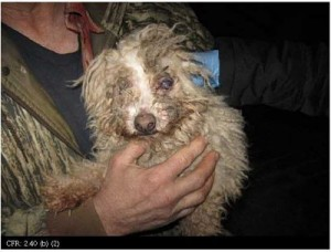 The picture of this Bichon was taken during a USDA inspection of a Sully, Iowa USDA-licensed facility. He's still presumed to be living in these conditions.