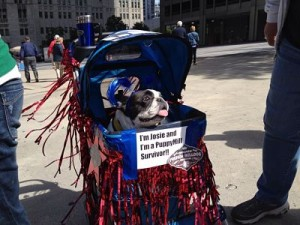 Josie is a puppy mill survivor that has participated in the Michigan Avenue marches for National Puppy Mill Awareness Day.