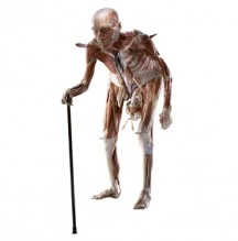 This plastinate of an old man shows a posture of old age. Copyright: Gunther von Hagens, Institute for Plastination, Heidelberg, Germany.