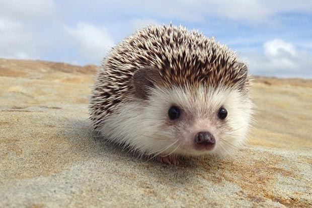 not bared or infused with poison like porcupines quills are. Hedgehogs ...