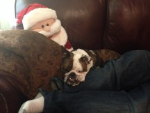 What Happened When Kafka the Bulldog Ran Away on Christmas Day
